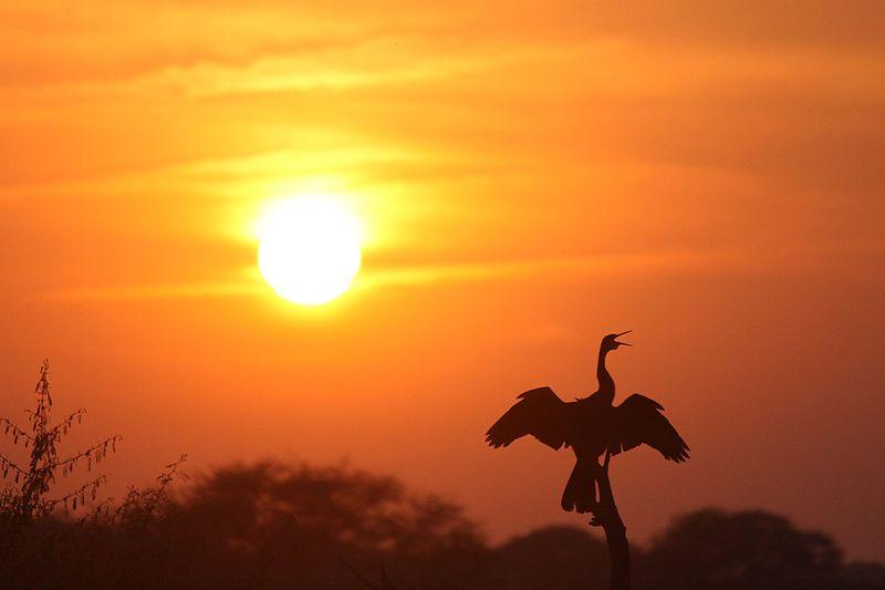 Darter-in-keoladeo-ghana-bird-sanctury