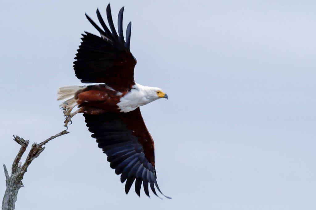 crested-snake-eagles
