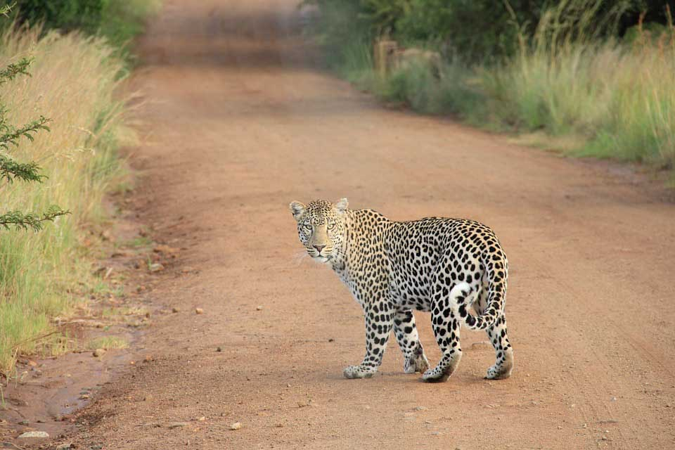 leopard-in-sariska-national-park
