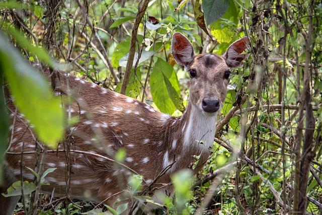kanchula_korak_musk_deer_sanctuary